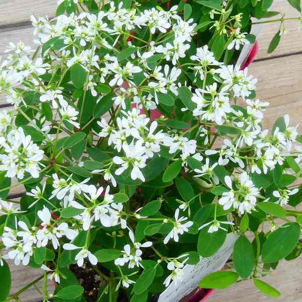 みっしりと花が咲く 花苗 マーケット ユーフォルビア 八重咲き 低廉 ダイヤモンドスノー 3.5号 ガーデニング 小花 0907 白花 秋まで咲く