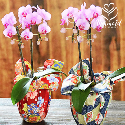Flowershop pretty mermaid rakuten global market flowers flowers birthday gifts presents phalaenopsis birthday present aged potted omakase small wrapping table phalaenopsis orchid phalaenopsis stands a pink negle Images