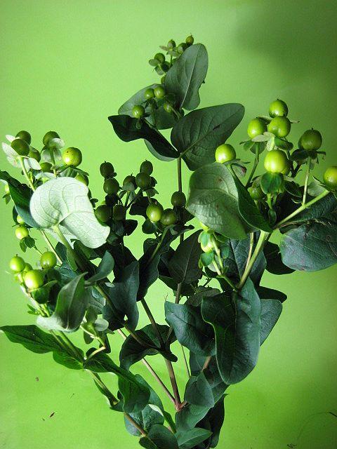 かわいいグリーンの実のついたヒペリカム 可愛くて人気 . スピード対応 発売モデル 全国送料無料 全品ポイント5倍 9 5 18:00~23:59限定 花材 切花 グリーン 5本 生け花 コンドル等 エダモノ