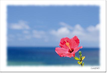 毎日続々入荷 石垣島 青海と青空に映える南国花 1年保証 ハイビスカス 絵旅便り NO.6