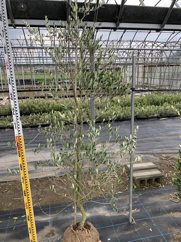 フランス原産の希少品種で果実は中型良質、オイルも良品、花は微かに芳香し葉は大きめで銀葉系、樹形はまとまりやすいです。 オリーブの木 バーデル 全長2.0m 送料無料 現品発送