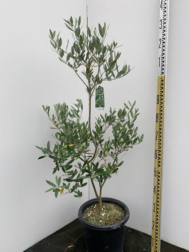 オリーブの木 ミッション 全長1.2m 9号鉢 送料無料 現品発送