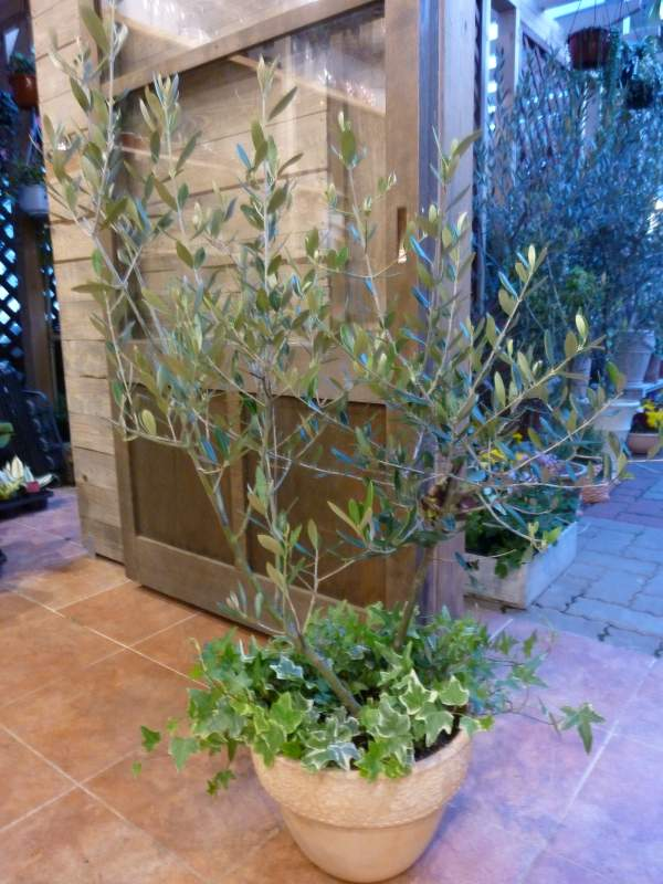 オリーブの木 品種違い2本寄せ植え Oli-me(オリーミー)オリー実 アイビーを垂らしてオシャレ仕上げ♪M-サイズ テラコッタ陶器鉢植え 大きく育てて下さい♪一軒家やショップさんのシンボルツリー創樹 olive オリーミー【送料無料】