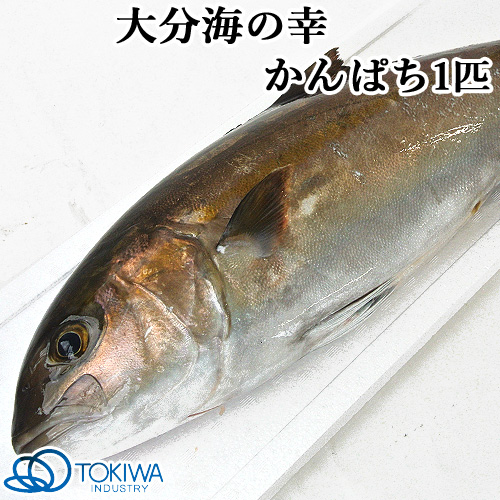 5%還元 大分の海 蒲江で獲れた かんぱち 1匹(約4kg) 黒潮海産 トキハインダストリー【送料無料】