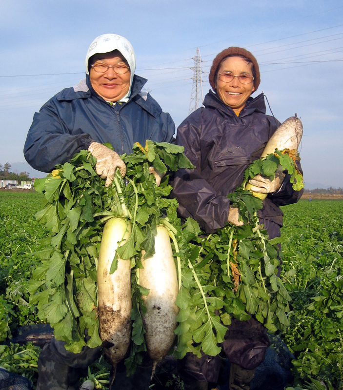 Super Delicious winter radishes only at making daikon pickles 5 soaked pickled radish radish Kyushu Kagoshima set ohsumi farm