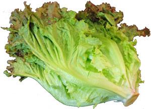 代表的なリーフレタスのひとつ 葉先は濃い紅色で葉質はやわらか 休日 サラダや巻き物に サニーレタス 1把 サラダや料理のいろどりに 長野産 レタス 出色