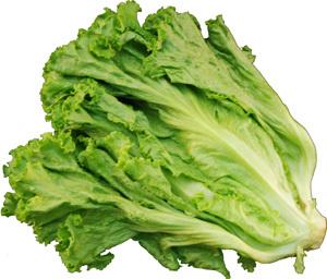 クセがなく食べやすい非結球レタス 特価キャンペーン カールした葉が特徴です レタス リーフレタス グリーンリーフ 1把 グリーンカール サラダなどに グリンリーフ 5☆好評 長野産