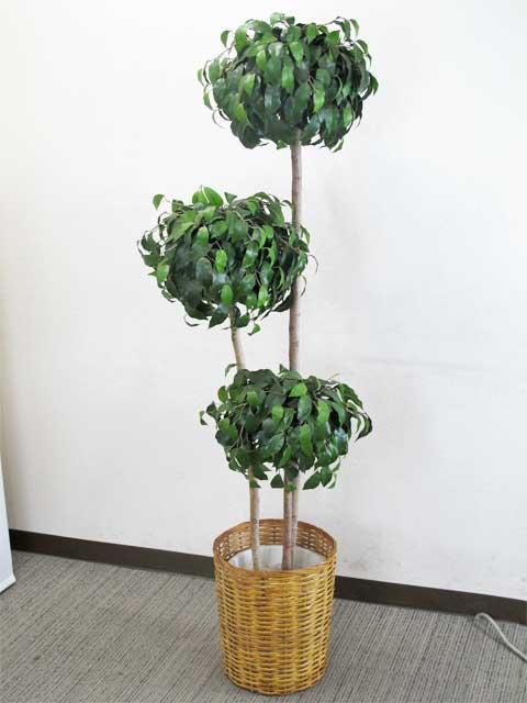 ベンジャミン オフィスグリーン 観葉植物【中古オフィス家具】【中古】
