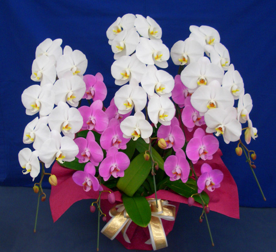 胡蝶蘭寄せ植えエクセレント【お祝、開店祝い、叙勲祝い、開院祝いに最適】