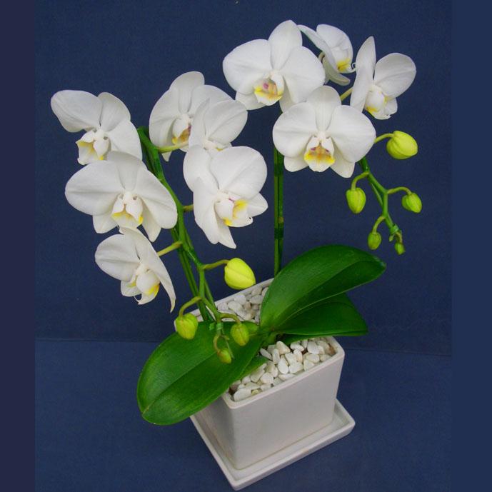 胡蝶蘭スーパーアマビリス2本立ち角鉢、受皿付