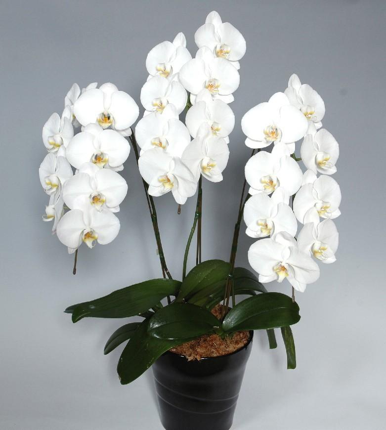 胡蝶蘭鉢 白花 L 3本立 21