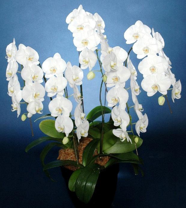胡蝶蘭鉢 白花 2L 5本立 45