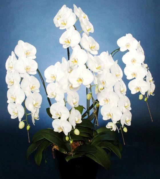 胡蝶蘭鉢 白花 3L 5本立 55