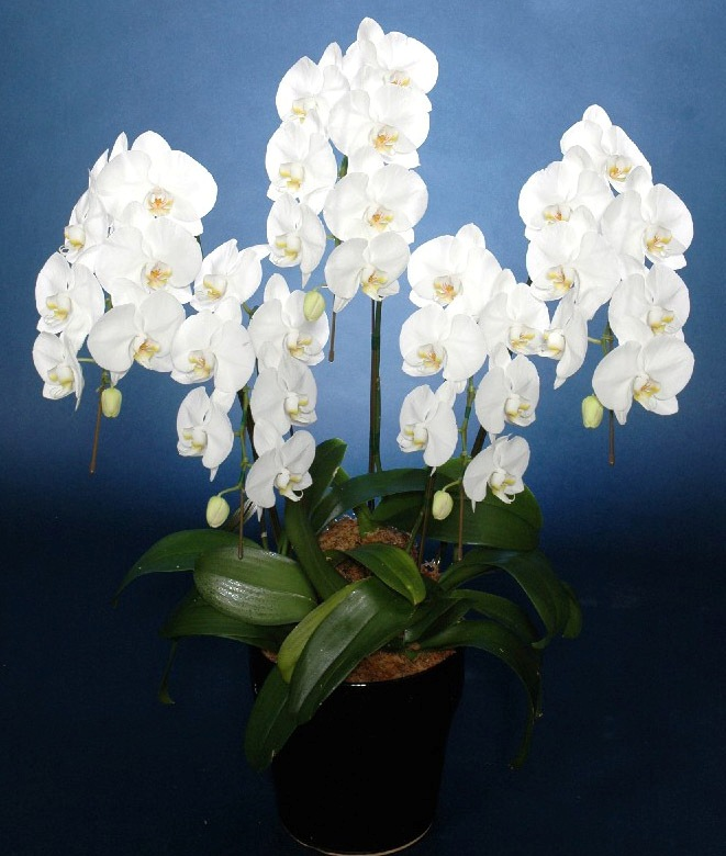 胡蝶蘭鉢 白花 L 5本立 35