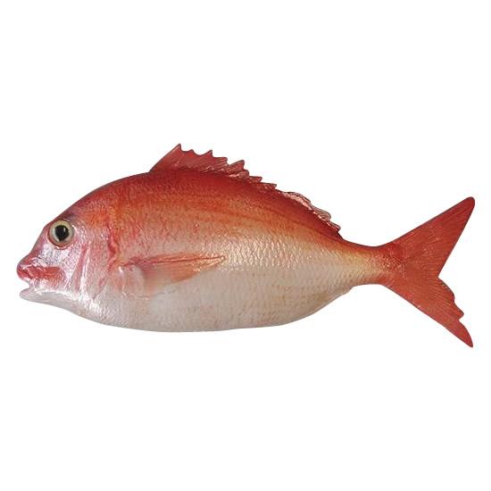 【大感謝価格】 日本職人が作る 食品サンプル 鯛 片面 ブロー IP-544 【返品キャンセル不可】
