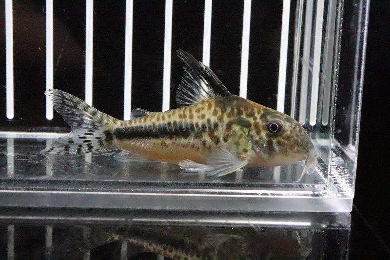 【淡水魚】No1 コリドラス フィラメントーサス シパルゥイニーリバー産 ワイルド【個体販売】(7cm)(コリドラス)(生体)(淡水)NKCR