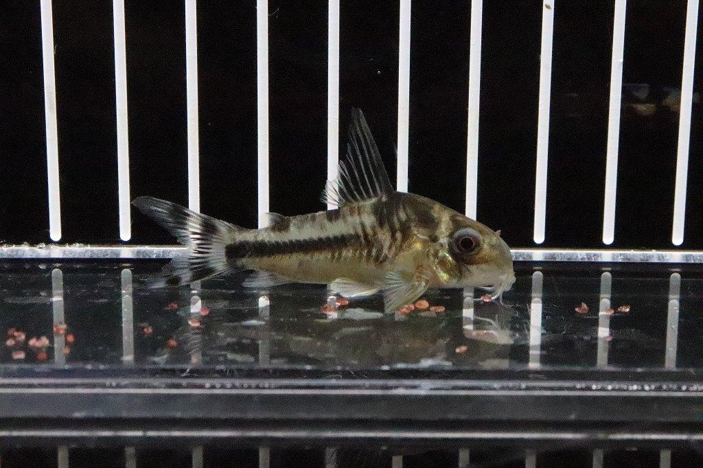 【淡水魚】特価 コリドラス ボエセマニー スリナムリバー産 ワイルド【個体販売】(±5cm)(コリドラス)(生体)(淡水)NKCR20200629