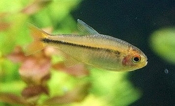 【熱帯魚】【サンプル画像 1匹】レア種 ハイフェソブリコン ミルメックス ワイルド(珍カラ)(生体)(淡水)NKCK