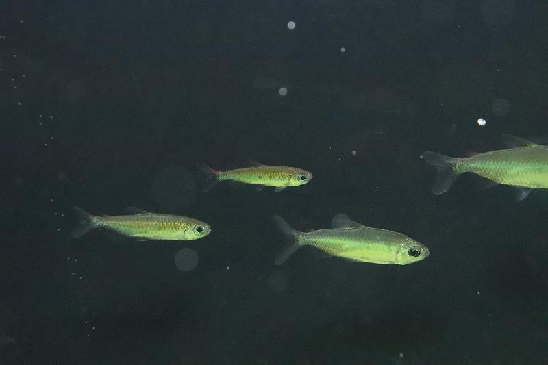 【熱帯魚】【サンプル画像 1匹】激レア ファンタスティックレインボーコンゴテトラ ワイルド(珍カラ)(生体)(淡水)NKCK