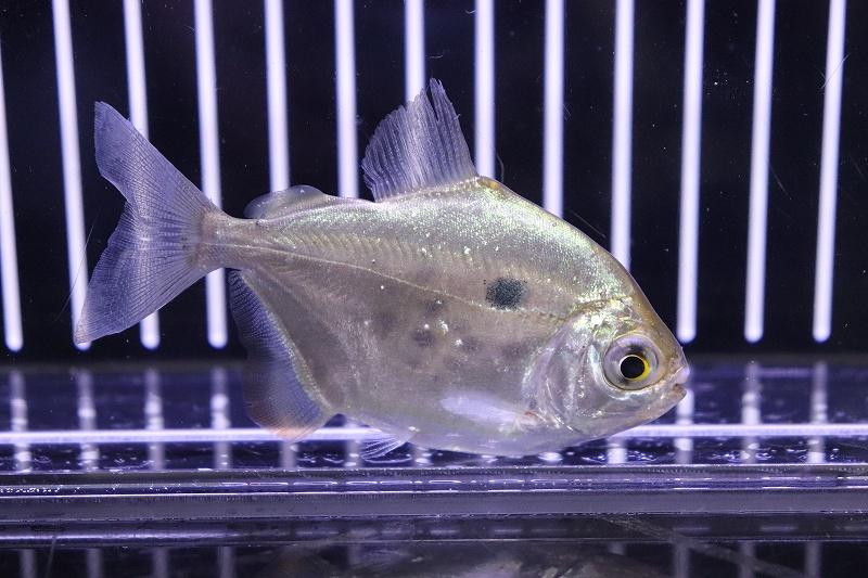【淡水魚】レア種 メチニスspリオマモレ ワイルド ±8cm【1匹】(生体)【メチニス】(熱帯魚)NKO