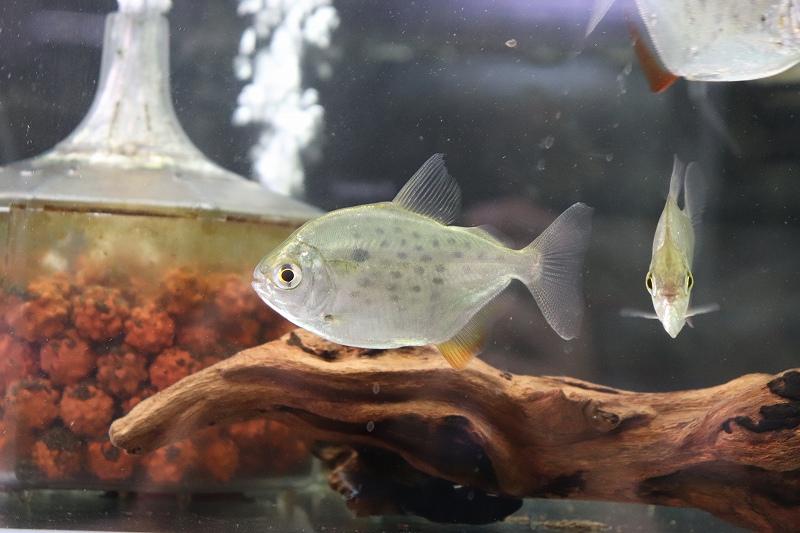 【熱帯魚】【メチニス】【1匹】スポッテッドメチニス リオパラグァス産 ワイルド ±8cm(F)【中型カラシン】(生体)(淡水)NKO