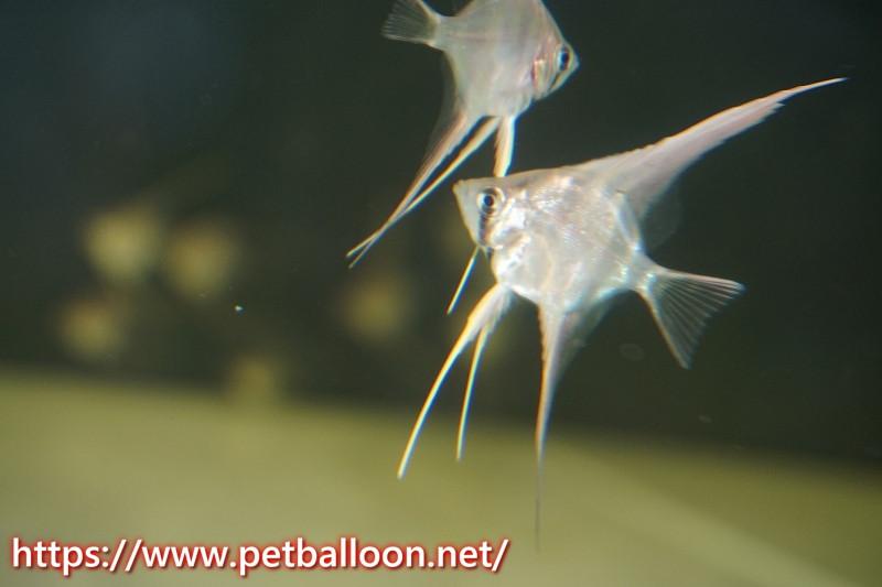 【淡水魚】アルタムエンゼル コロンビア産【3匹】(±2-2.5cm)(エンゼルフィッシュ)(生体)20200727