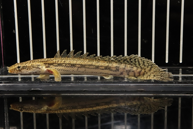 【熱帯魚】【サンプル画像 1匹】ポリプテルス ビキールspコリバ(±11cm)(大型魚)(生体)(淡水)NKO