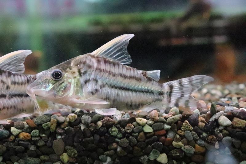 【熱帯魚】【コリドラス】【1匹】コリドラス スーパープルケール ワイルド ±7.5cm(コリドラス)(生体)(淡水)NKCR