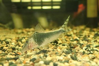 【熱帯魚】【コリドラス】【1匹】コリドラス セミアキルス ブラックペルー ワイルド ±6cm(コリドラス)(生体)(淡水)NKCR
