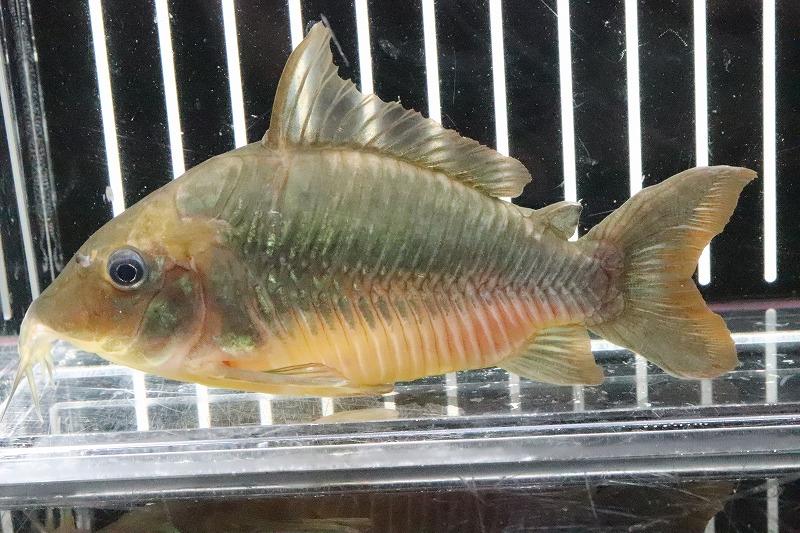 【熱帯魚】【サンプル画像】レア種 ビッグサイズ ブロキス ブリスキー パンタナール産 ワイルド (9-10cm) (コリドラス)(生体)(淡水)NKCR