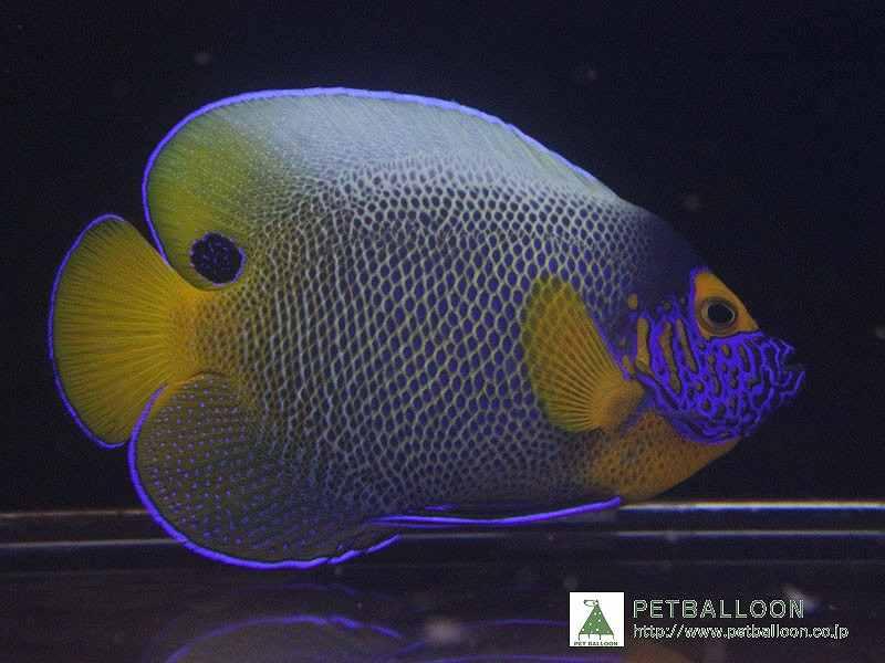 【海水魚】アデヤッコ(ブルーフェイスエンゼル)Mサイズ(1匹)±9-11cm(生体)(海水魚)(サンゴ)