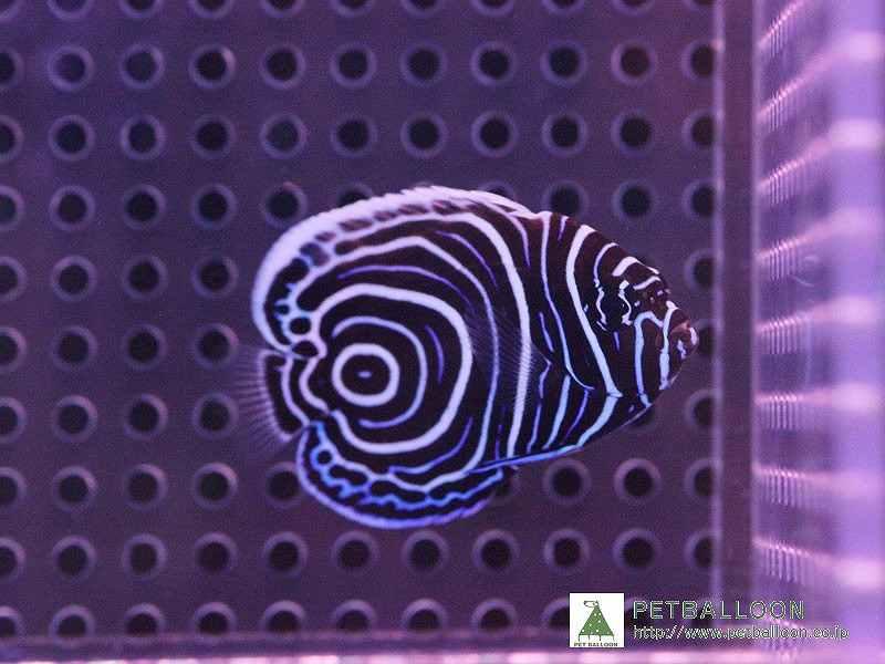 【海水魚】【サンプル画像】ウズマキ ±3-4cm【1匹】【ヤッコ】(生体)(海水)