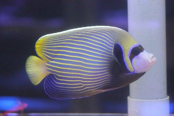 【海水魚】タテジマキンチャクダイ Lサイズ(インド洋・美ライン)(1匹)18-20cm前後(生体)(海水魚)(サンゴ):ペットバルーン支店