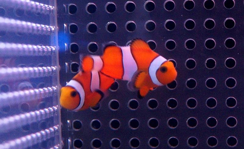 【海水魚】【サンプル画像】カクレクマノミ Sサイズ 3-5cm前後【5匹セット】【クマノミ】(生体)(海水)