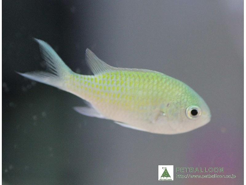 超特価 観賞魚 海水魚 生体 アクアリウム ペット 10匹 デバスズメダイ サンゴ 人気ブランド多数対象