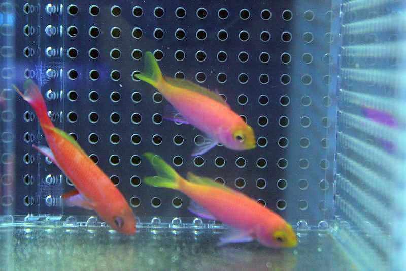 【海水魚】【サンプル画像】人工飼料OKレスプレンデントアンティアス ±4-6cm 【♂1+♀2のハーレム3匹】【ハナダイ】(生体)(海水)