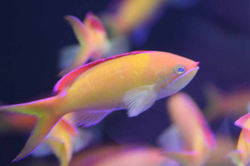 【海水魚】【サンプル画像】アカネハナゴイ 5-6cm前後【5匹セット】【ハナダイ】(生体)(海水)