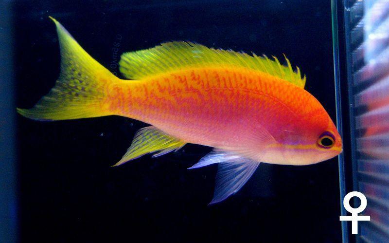 【海水魚】【サンプル画像】スクリブルドアンティアス♀6-9cm前後【3匹セット】【ハナダイ】(生体)(海水)