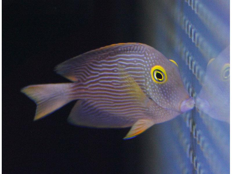 【海水魚】【サンプル画像】コーレタン (M-MLサイズ) 6-7cm前後【1匹】【ハギ】(生体)(海水)