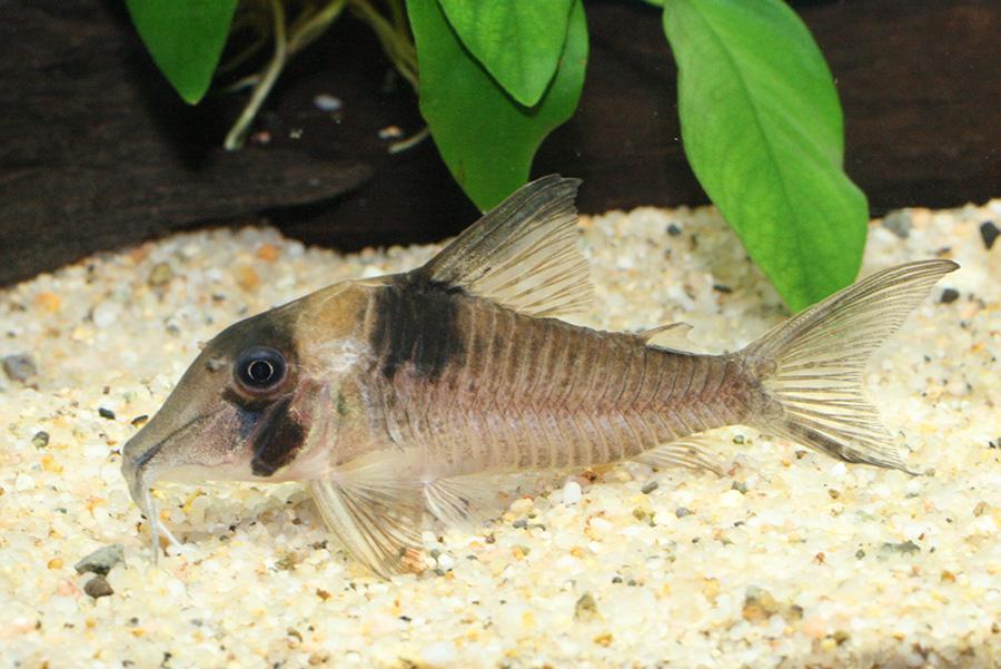 コリドラス・ロングノーズバージニアエ 1匹 観賞魚 魚 アクアリウム 熱帯魚 ペット