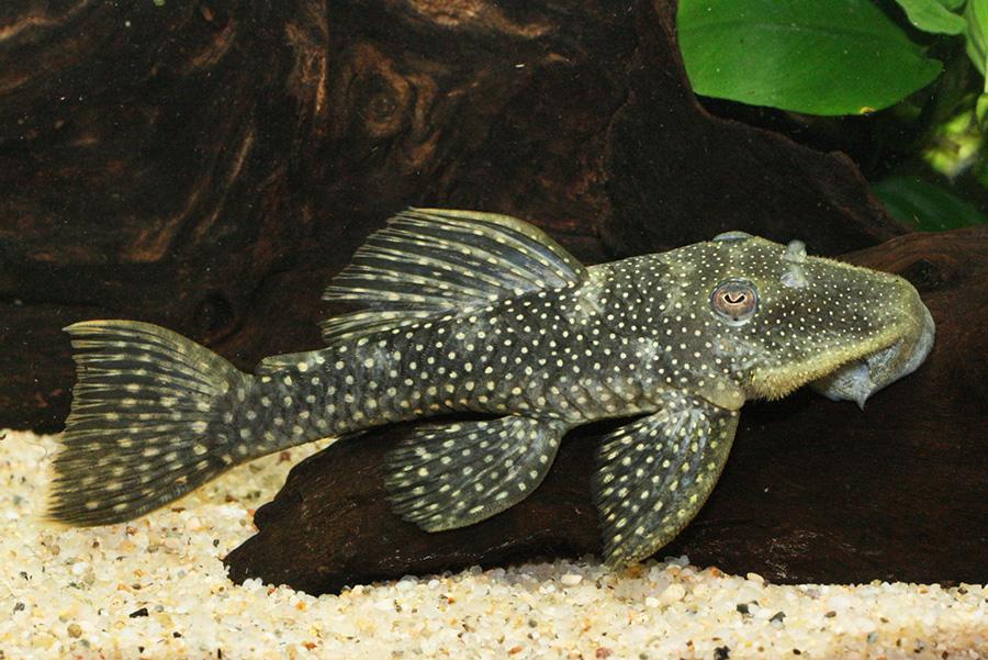 グロースポットスパングルプレコ 1匹 観賞魚 魚 アクアリウム 熱帯魚 ペット