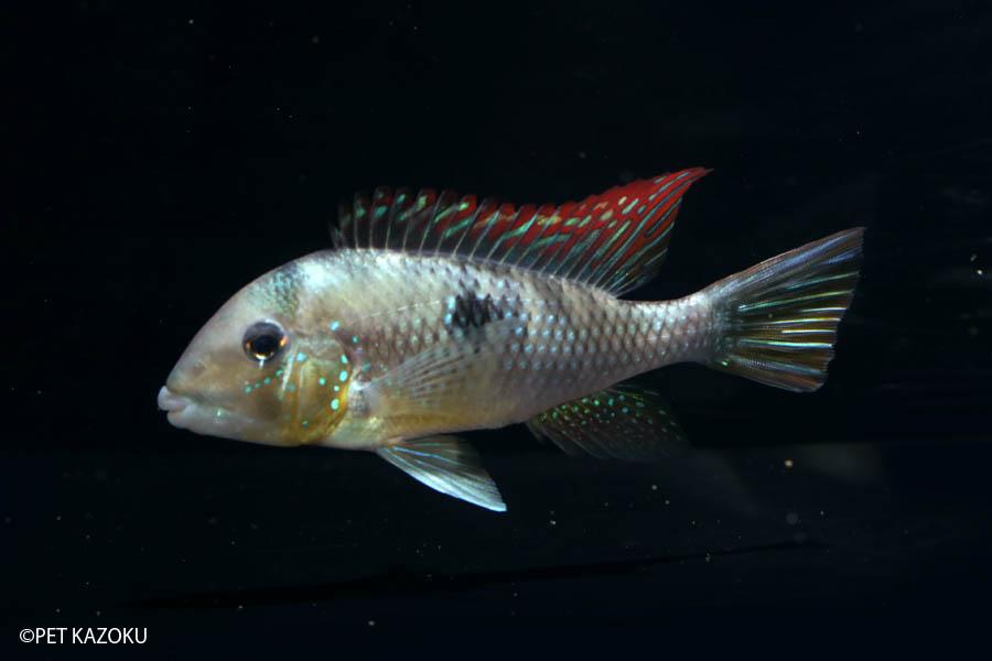 ギムノゲオファーガス・ラビアータ (EUブリード) (L) 1ペア 観賞魚 魚 アクアリウム 熱帯魚 ペット