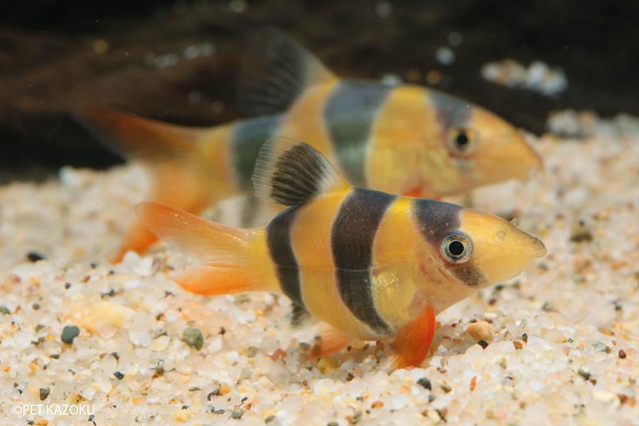 クラウンローチ・スーパーショートボディ(SM) 1匹 観賞魚 魚 アクアリウム 熱帯魚 ペット