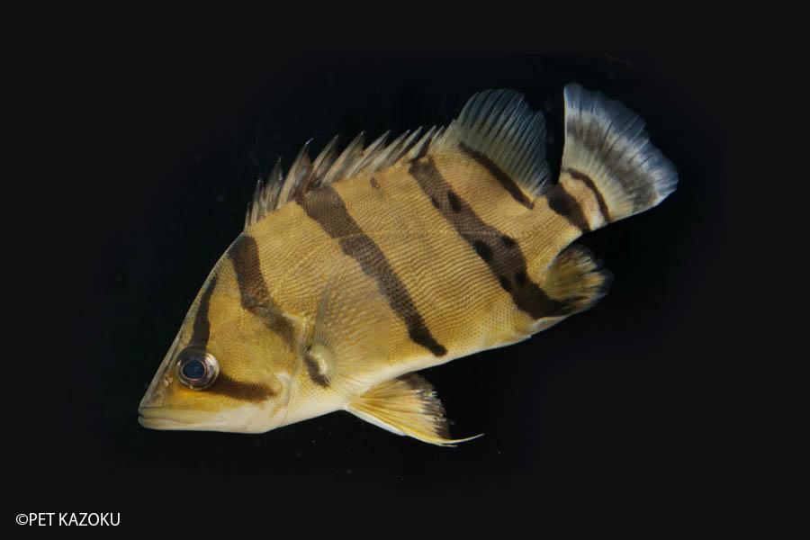 フォーバータイガーフィッシュ(L) 1匹 観賞魚 魚 アクアリウム 熱帯魚 ペット