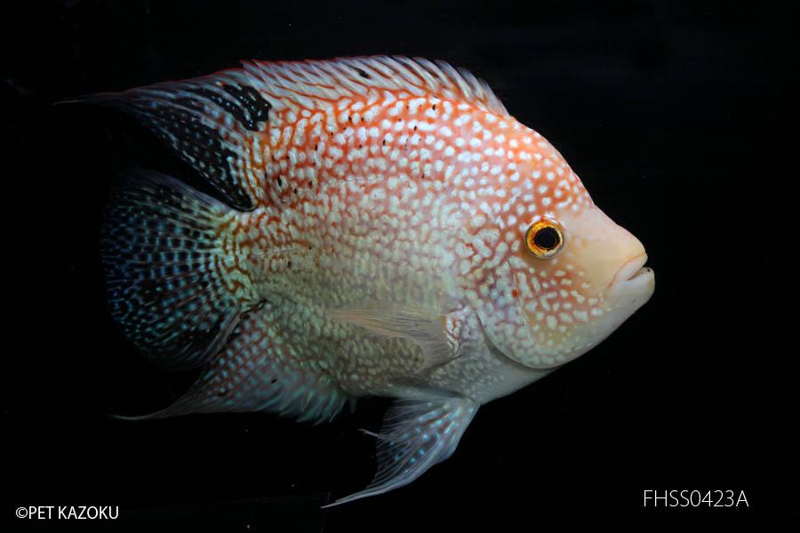 """スーパーショートボディ""""RED TEXAS""""(ML) FHSSR0423A 観賞魚 魚 アクアリウム 熱帯魚 ペット"""