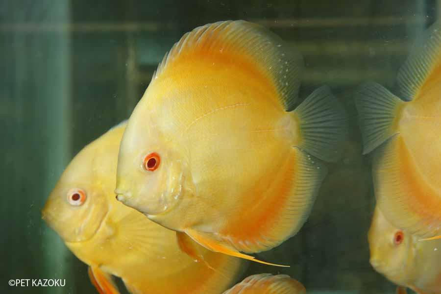 アルビノマルボロイエローディスカス(L) 1匹 観賞魚 魚 アクアリウム 熱帯魚 ペット