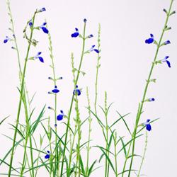 コバルトセージ宿根サルビア ■宿根草■コバルトセージ 青色 10.5cmポット苗