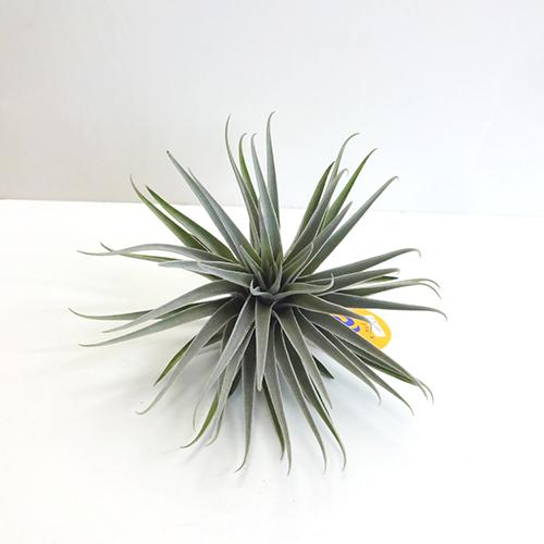 ■チランジア■現品!スークレイハイブリッドTillandsia sucrei hybrid