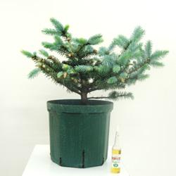 ■良品庭木■再入荷!スローグローイングコニファー ピセアプンゲンス グラウカグロボーサ7号鉢植え