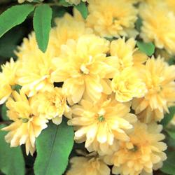 全国どこでも送料無料 モッコウバラ黄色 ■良品庭木■モッコウバラ 八重黄色9cmポット苗 至上